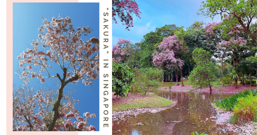 "12 ""Sakura"" Spots In Singapore With Pretty Pink & White Trumpet Flowers That Remind Us Of Japan"